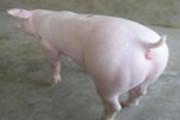 名翔二元母猪