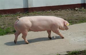 养猪一千年都不变的老道理!值得一看!