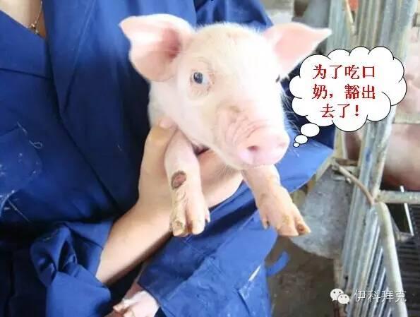 猪的信号: 母猪奶水不足(本文章来自网络)