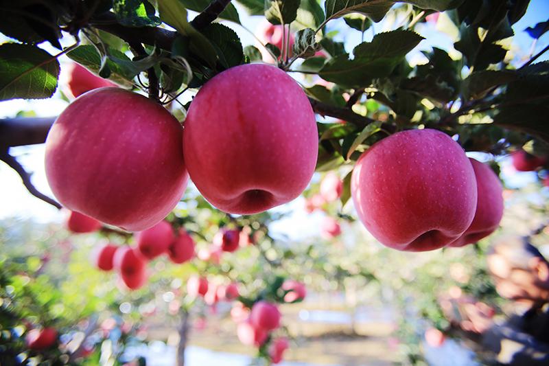 《甘肃庄浪阳川的苹果大又甜》  邓尚喜摄