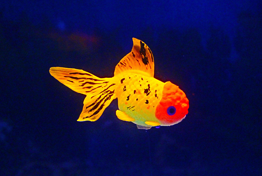 Picture of Goldfish -Lionhead