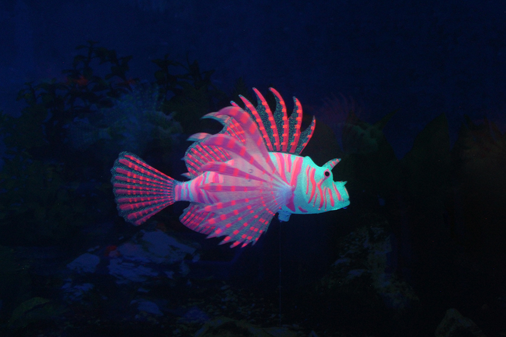 Picture of Lionfish Type2 -Blue Body